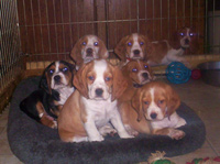 Beagle Puppies!