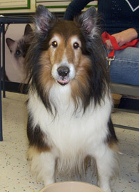 Rusty the sheltie mix